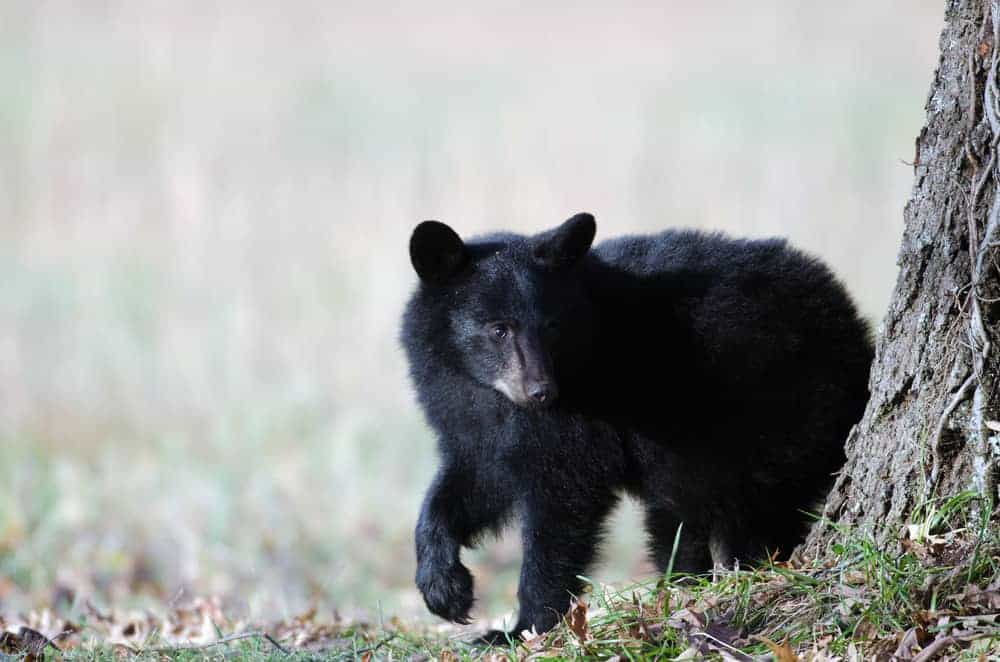 A black bear cub in the Smoky Mountains.