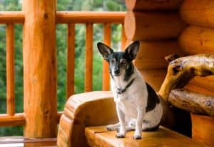 A dog sitting on the porch of a pet friendly cabin